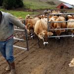 Japan Dairy Farm Workabroad